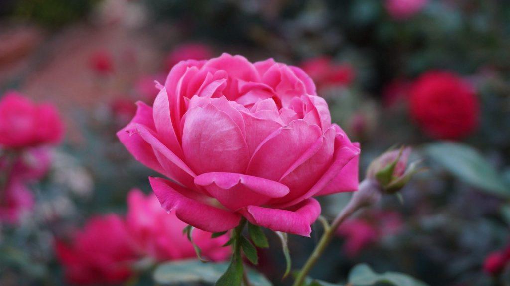 Роза розовый цветок бутон лепестки цветы обои скачать