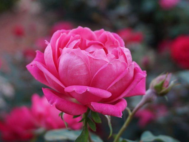 Роза розовый цветок бутон лепестки цветы