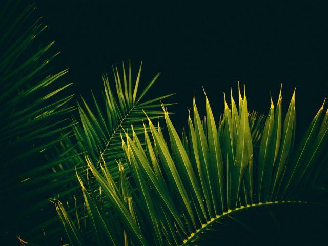 Пальмовое дерево листья ветви