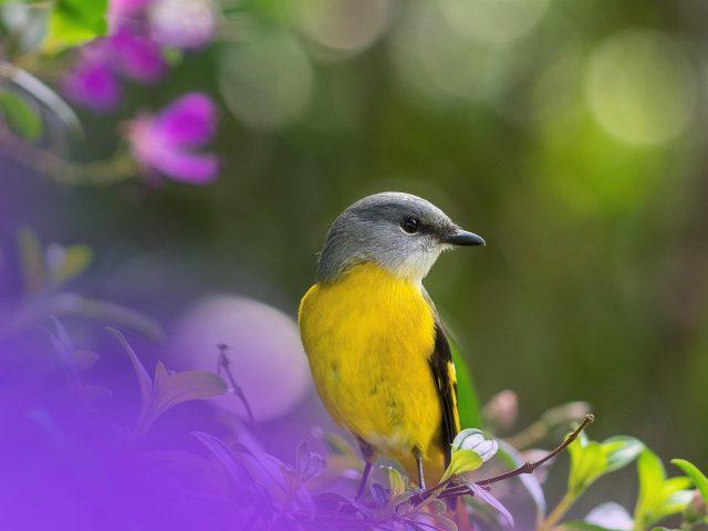 Боке желтая Ясеневая птица на ветке дерева в зеленом размытом фоне птицы