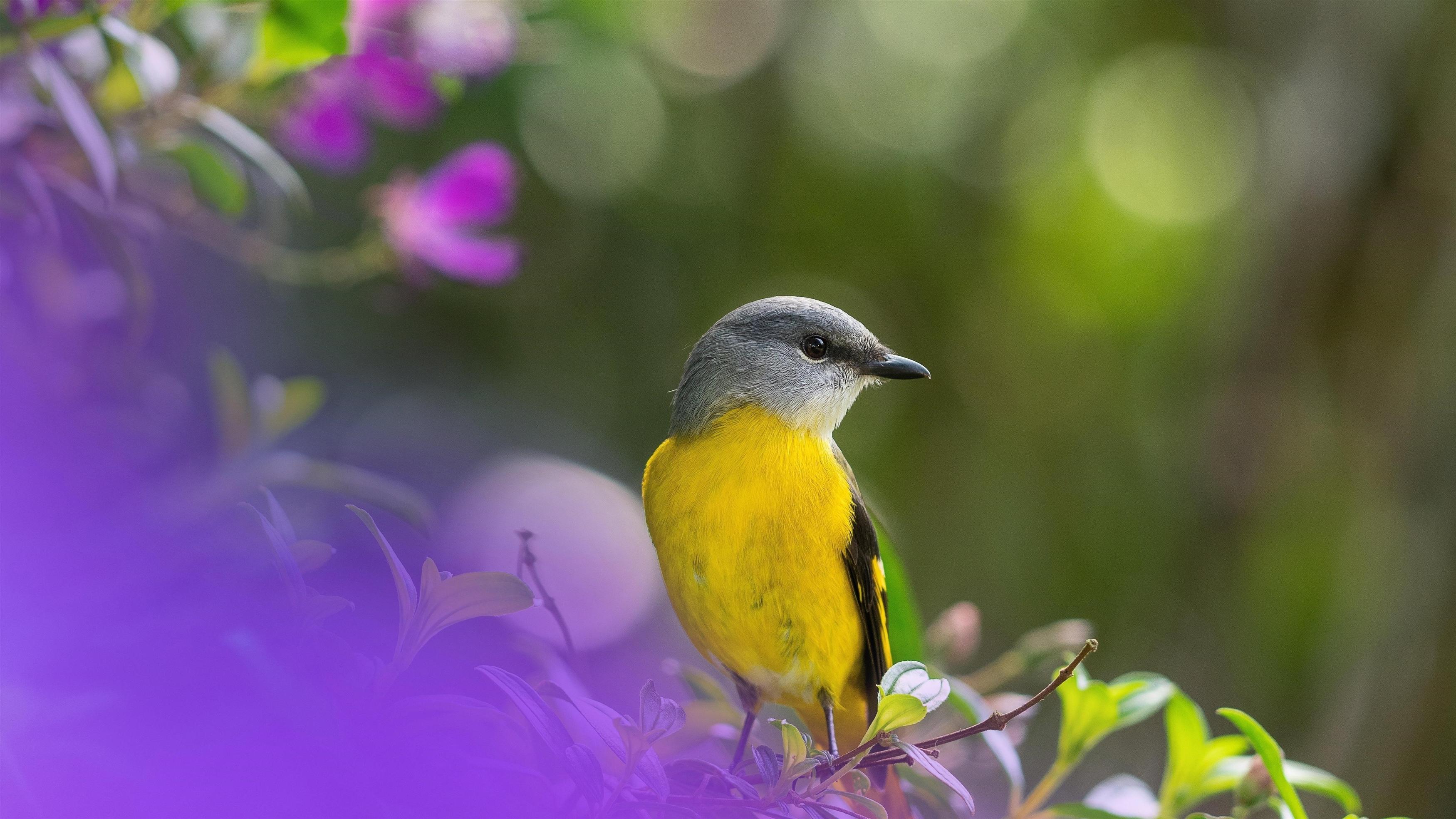 Боке желтая Ясеневая птица на ветке дерева в зеленом размытом фоне птицы обои скачать