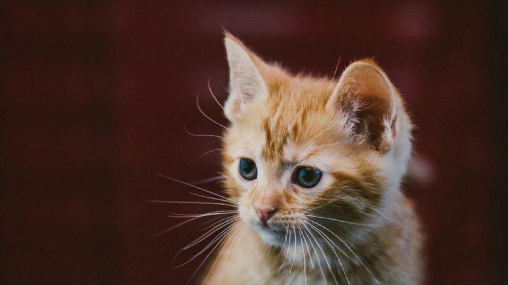 Коричневый белый кот котенок в размытом фоне котенок обои скачать