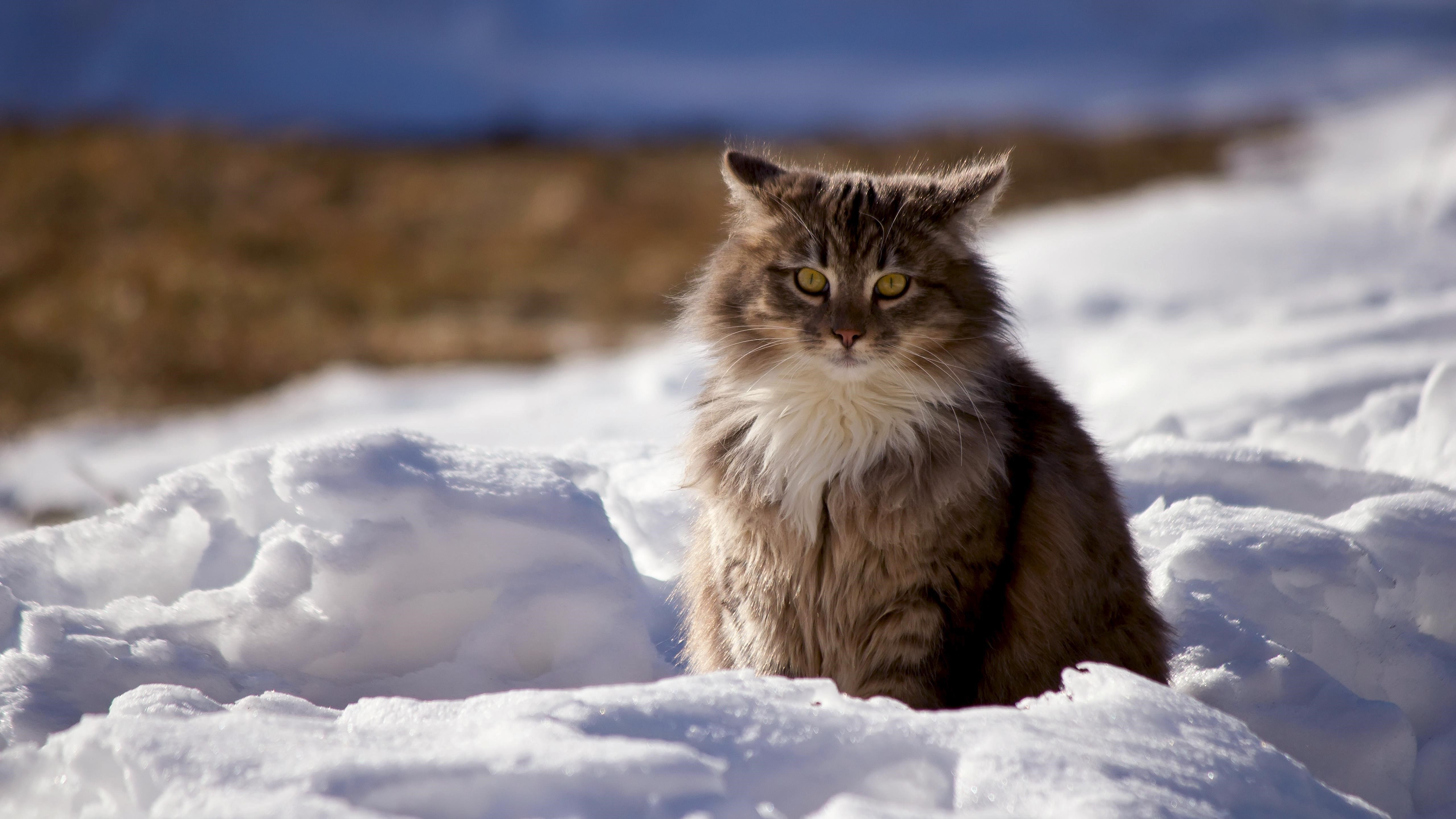 Милый пушистый кот обои скачать