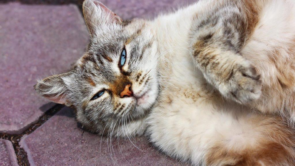 Кошка с голубыми глазами лежит на полу кошка обои скачать