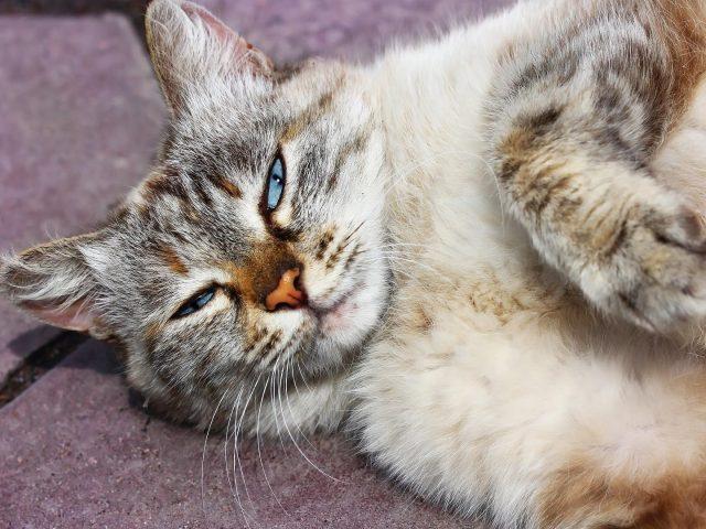 Кошка с голубыми глазами лежит на полу кошка