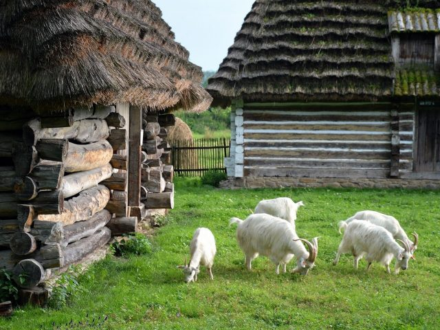 Белые козы с рогами на траве едят мелкие растения животных