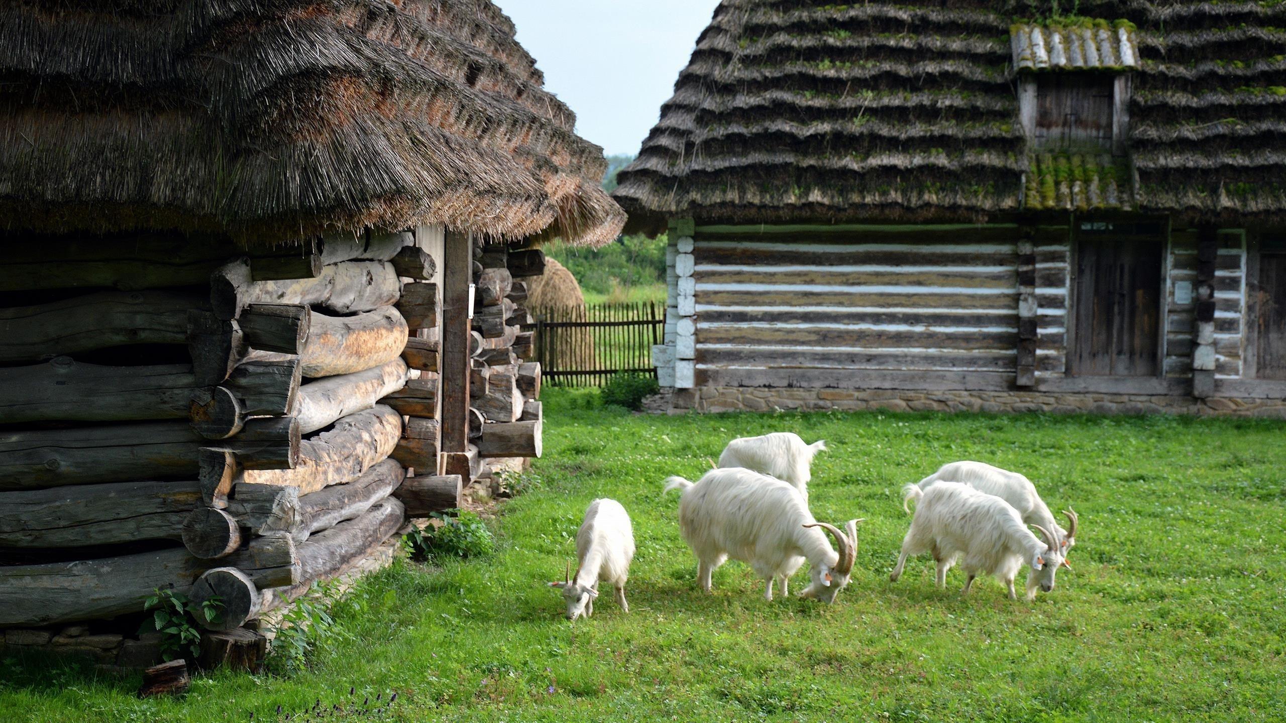Белые козы с рогами на траве едят мелкие растения животных обои скачать