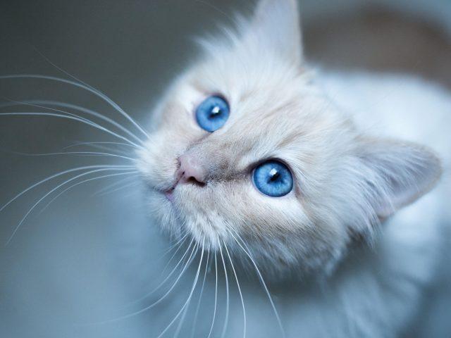 Морда бирманской кошки голубая