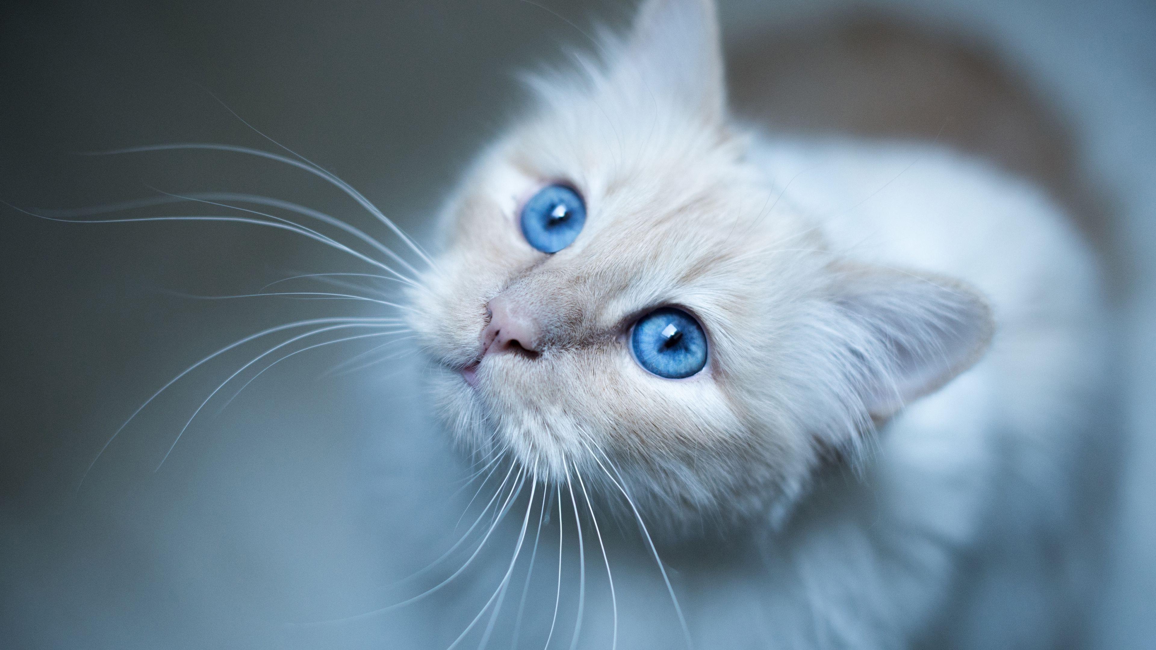 Морда бирманской кошки голубая обои скачать