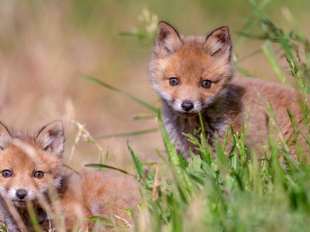 Животные леса лиса