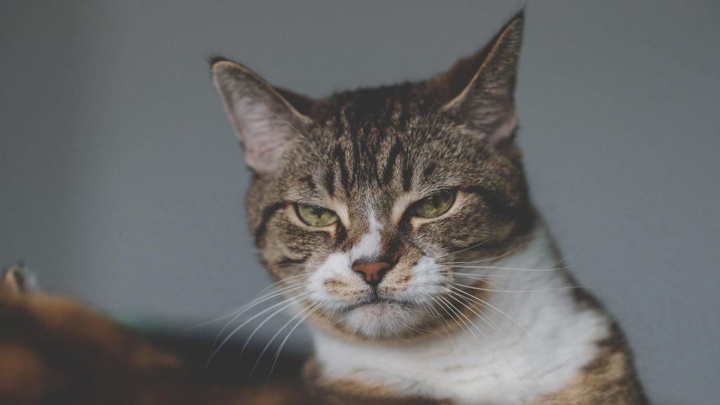 Котенок с зелеными глазами на сером фоне котенок обои скачать