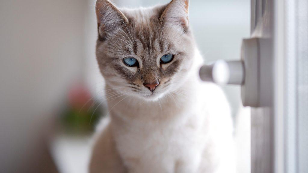 Белые глаза бело-коричневая кошка с пристальным взглядом кошки обои скачать