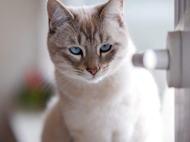 Белые глаза бело-коричневая кошка с пристальным взглядом кошки