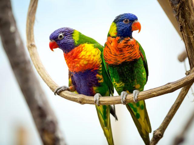 Пара попугай.