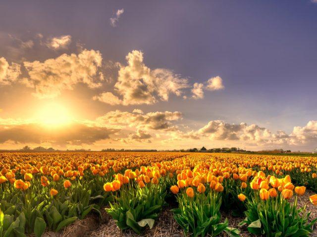 Желтые цветы тюльпанов поле на закате Голландия богатое чистое золото