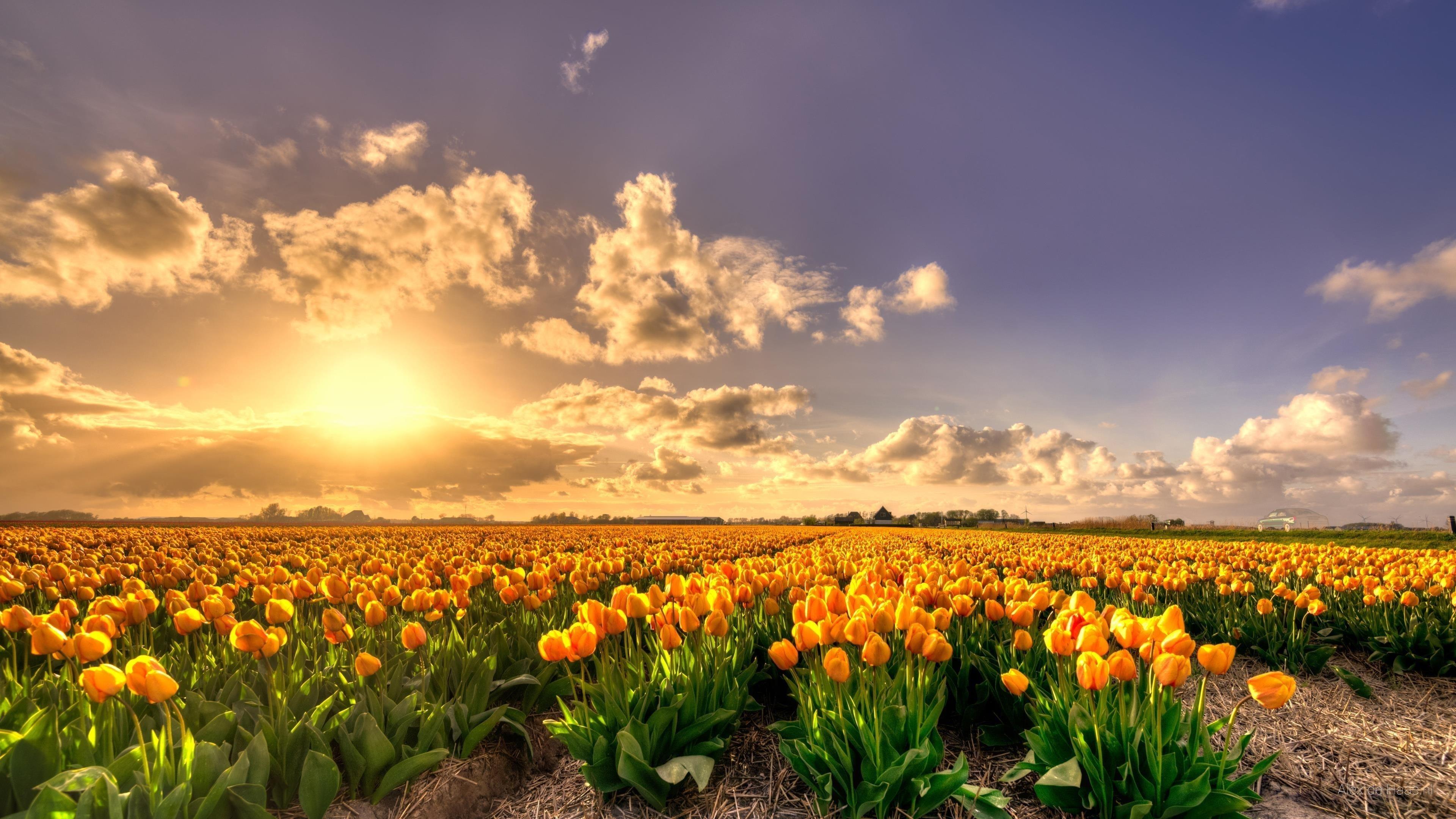 Желтые цветы тюльпанов поле на закате Голландия богатое чистое золото обои скачать