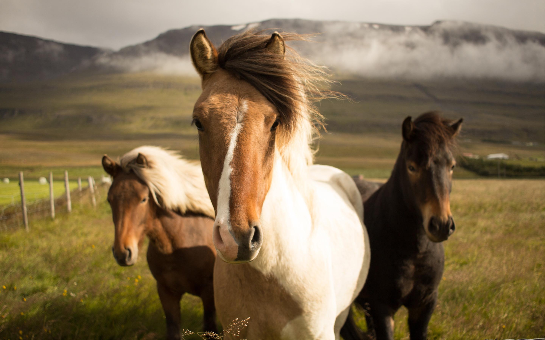 Исландия лошадей. обои скачать