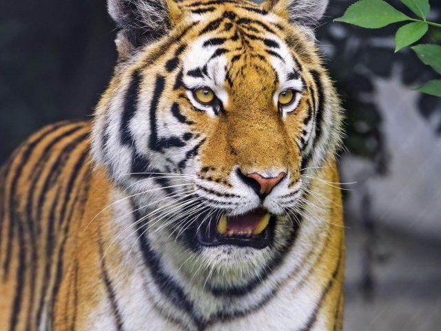 Желтые глаза тигра с пристальным взглядом тигра