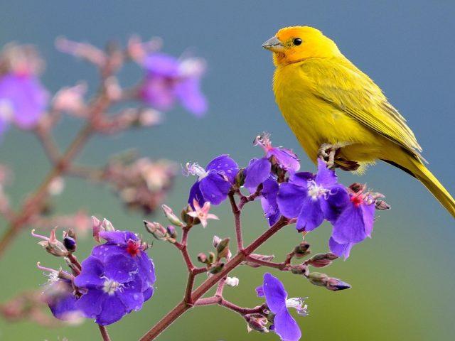 Шафранный зяблик желтая птица сидит на фиолетовых цветочных птицах