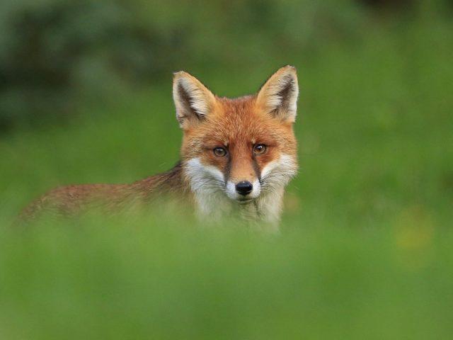 Животное лиса размытие животных