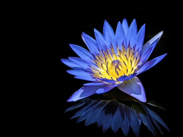 Голубая водяная лилия
