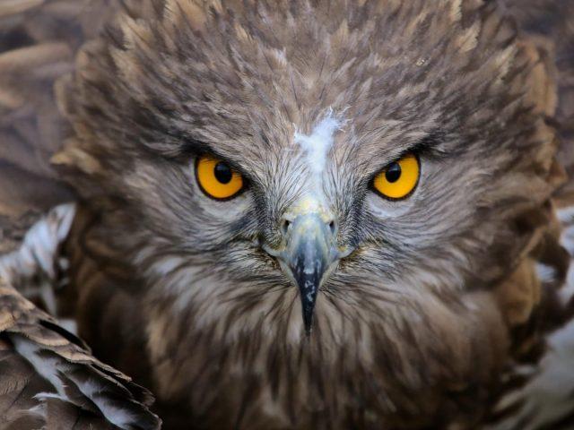 Коричневая сова иллюстрация природа животные птицы желтые глаза перья