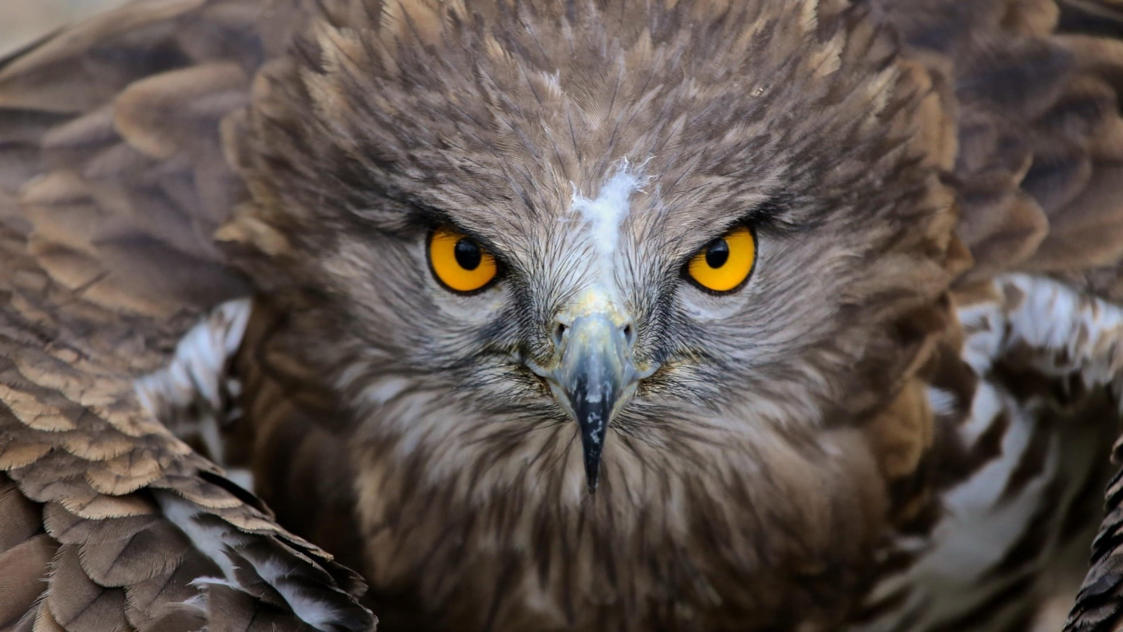 Коричневая сова иллюстрация природа животные птицы желтые глаза перья обои скачать