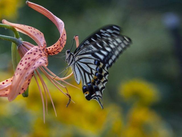 Лилейник гемерокаллис черно-синяя бабочка-ласточкин хвост на сине-зеленом фоне бабочка