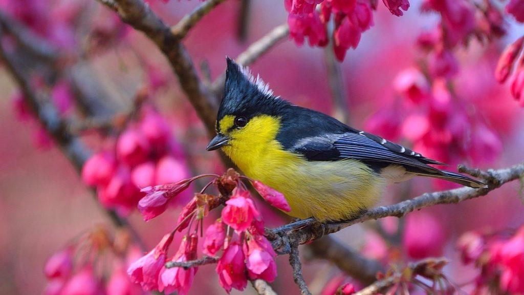 Желто черная тайваньская синица птица сидит на цветочной ветке птицы обои скачать