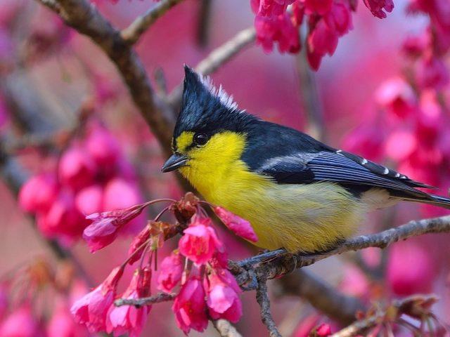 Желто черная тайваньская синица птица сидит на цветочной ветке птицы