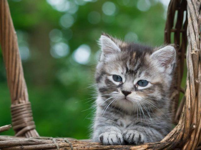 Светло-черный котенок белой кошки сидит в бамбуковой корзине на зеленом фоне боке котенок