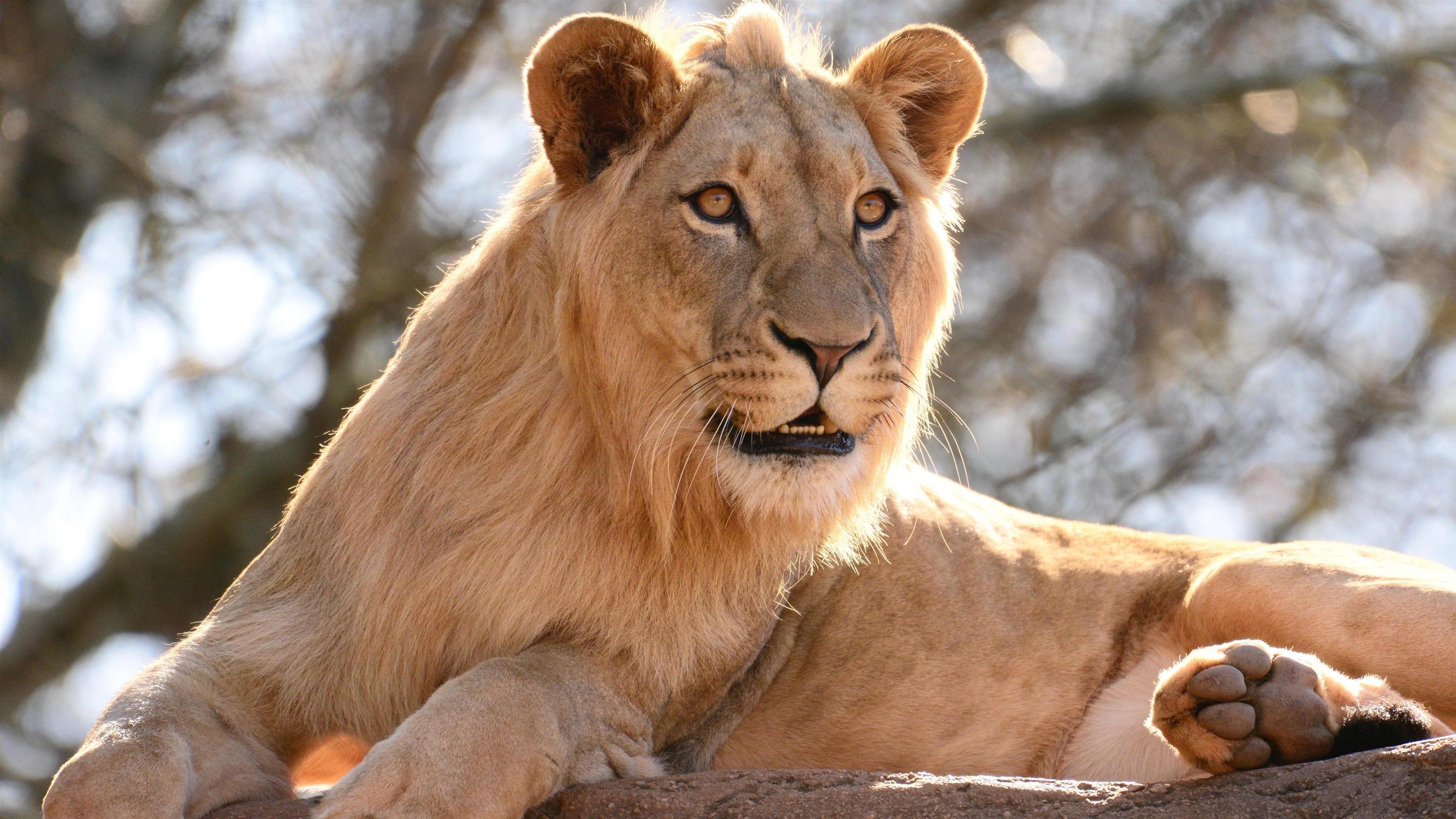 Животное лев обои скачать