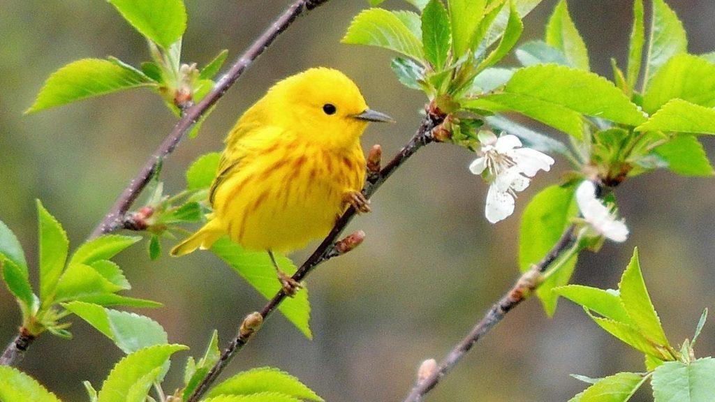 Желтая птица славка стоит на ветке дерева стебель с зелеными листьями птицы обои скачать
