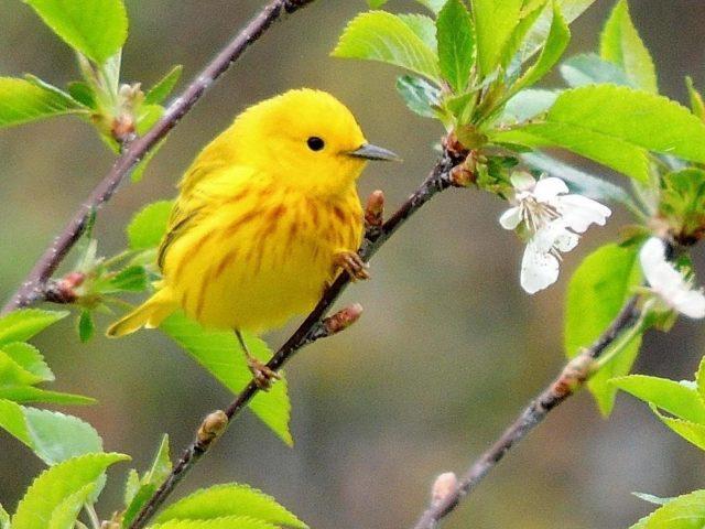 Желтая птица славка стоит на ветке дерева стебель с зелеными листьями птицы