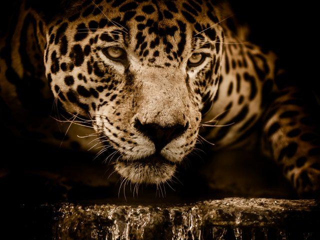Удивительный Jaguar