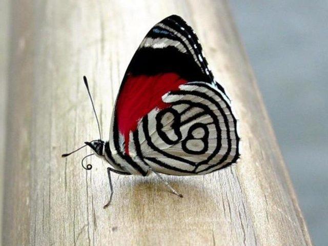 Крупным планом вид на красно-бело-черную дизайнерскую бабочку-бабочку