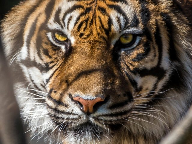 Тигровая морда крупным планом