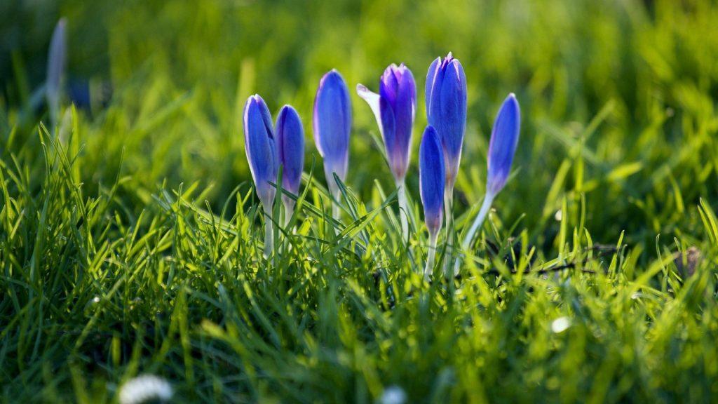 Подснежники цветы растения весенние цветочные цветы обои скачать