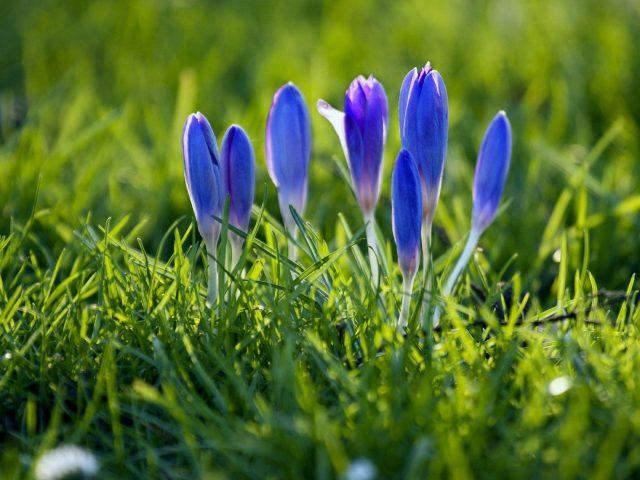 Подснежники цветы растения весенние цветочные цветы