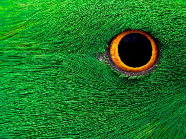 Попугай глаз
