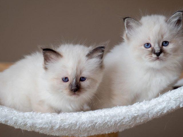 Белые голубые глаза котята на белом текстурном стуле котята