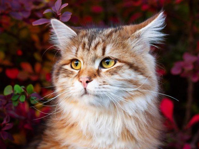 Коричнево-бело-желтые глаза кошки на фоне разноцветных листьев могут