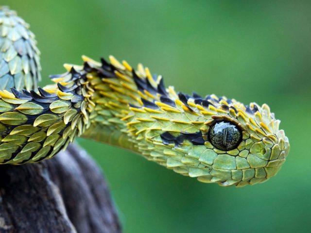 Зеленая яма гадюка змея в сине зеленом фоне животные