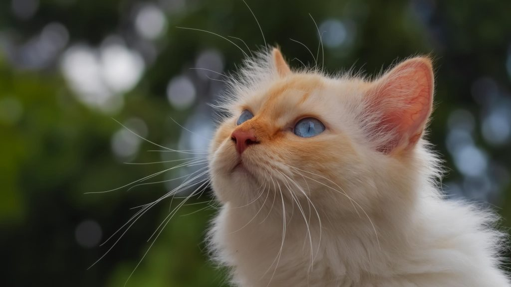 Белая кошка смотрит вверх на сине зеленый фон боке кошка обои скачать