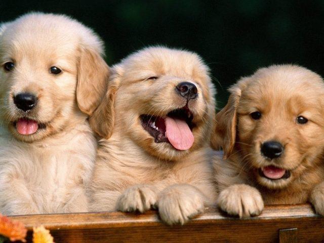 Три маленьких коричневых щенка сидят на деревянной скамейке щенок