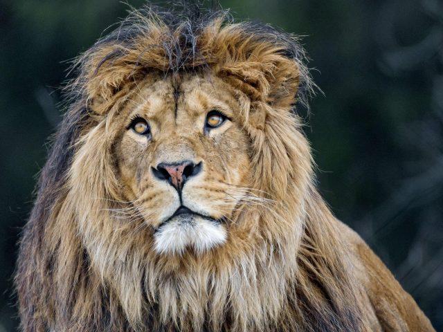 Лев хищник Большая кошачья грива пушистая