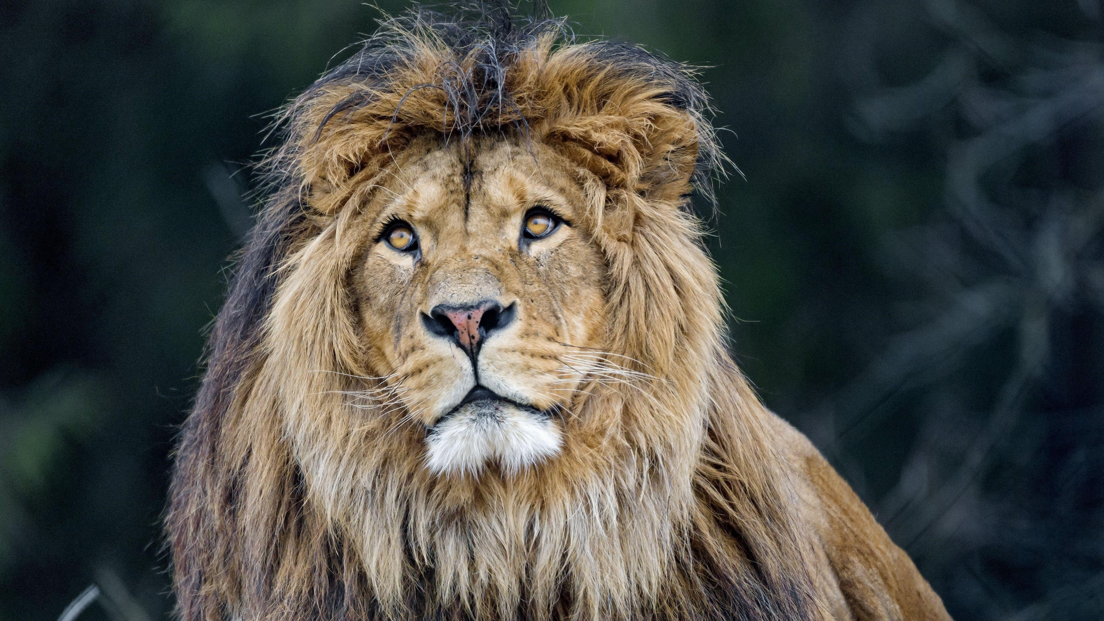 Лев хищник Большая кошачья грива пушистая обои скачать
