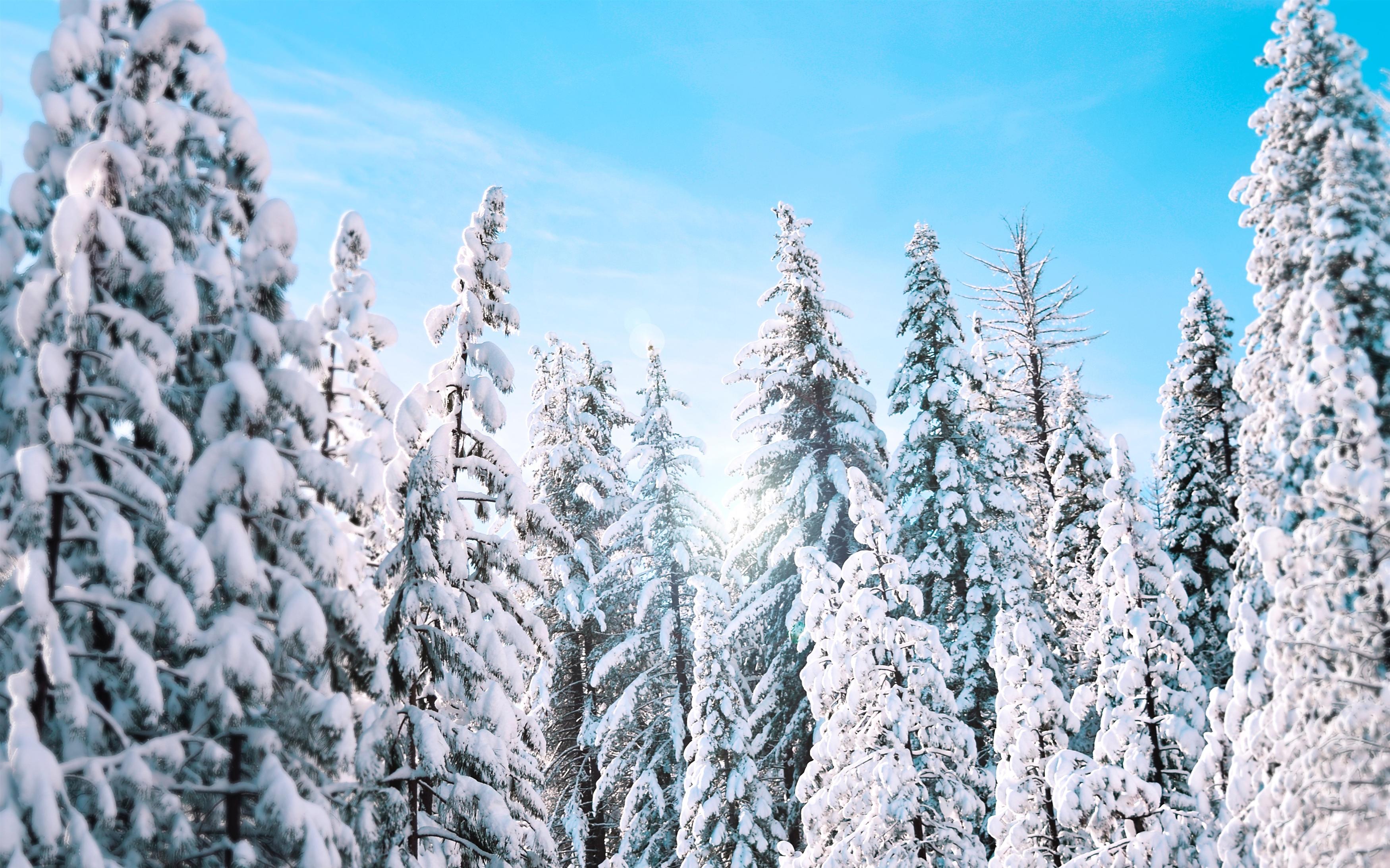 Солнечные зимние сосны обои скачать