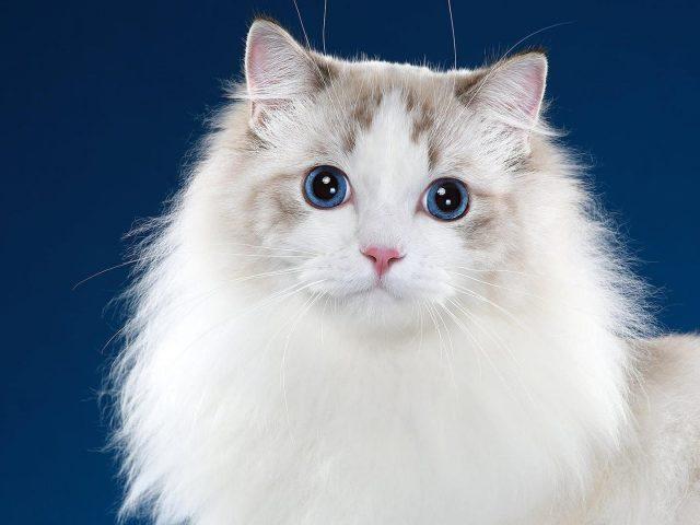 Симпатичная белая кошка с синими и черными глазами 6 животных