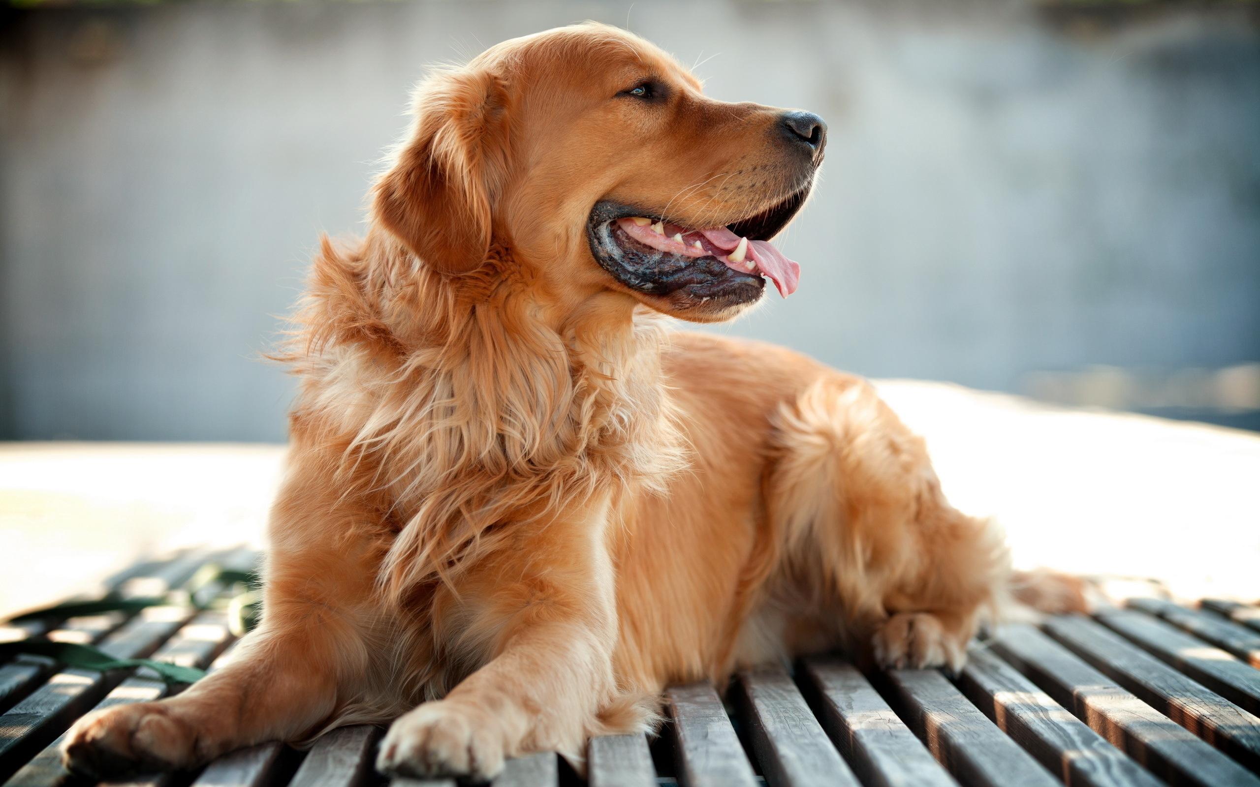 Золотой ретривер собака обои скачать